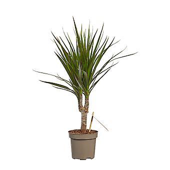 Roślina w pomieszczeniach z Botanicznie – Drzewo smoka – Wysokość: 45 cm – Dracaena Marginata