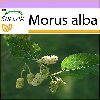 Saflax - 200 graines - mûrier blanc - Mûrier blanc - Moro bianco - Morera blanca - Weißer Maulbeerbaum