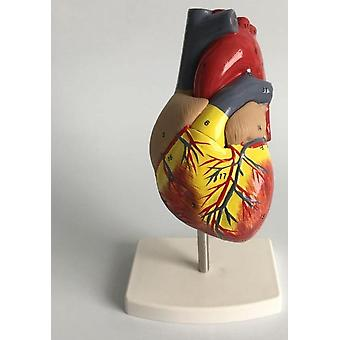 Modèle anatomique du cœur humain, modèle d'enseignement de la cardiologie médicale avec numéro