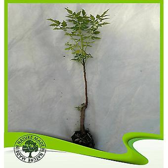 Melia azedarach (Chinaberry boom)-plant