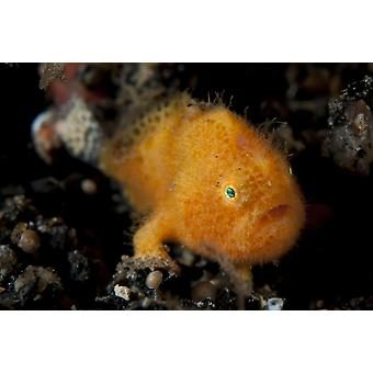 Несовершеннолетних волосатые frogfish примерно 5 мм длины Лембех пролива Индонезии Плакат Печать