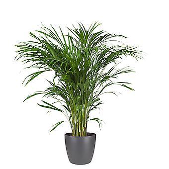 Pianta d'appartamento – Palma Areca in vaso antracite come set – Altezza: 80 cm