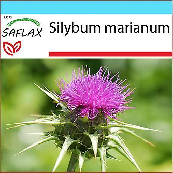 Saflax - Geschenkset - 75 Samen - Mariendistel - Chardon-Marie - Cardo Mariano - Cardo Mariano - Mariendistel