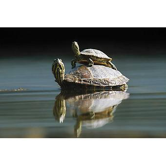 Rosso-eared Slider tartaruga coppiain stagno City Park Monaco di Baviera Germania Poster stampa di Konrad Wothe