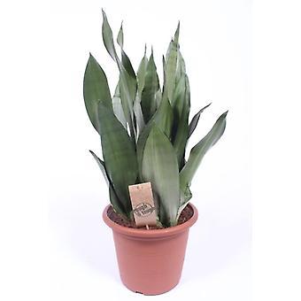 Langue de belle-mère ↕ 30 à 70 cm disponible avec jardinière | Sansevieria trif. Moonshine