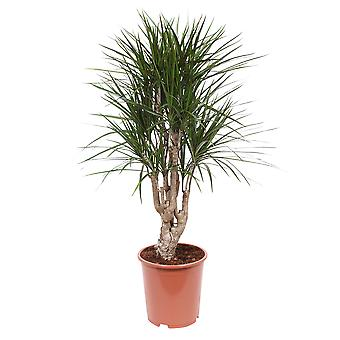 Keuze van Green - 1 Dracaena Marginata - compacte Dragon Tree Brussel