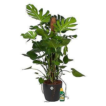 Window leaf plant ↕ 120 cm available with planter | Monstera Deliciosa