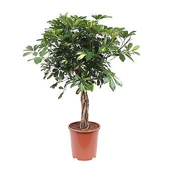 Schefflera arboricola Finger tree - Wysokość 100 cm - Garnek średnicy 27 cm