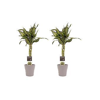 Kamerplanten – 2 × Drakenboom incl. taupe sierpot als set – Hoogte: 45 cm