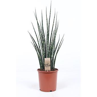 Snakeplant ↕ 10 til 70 cm tilgængelig med   Sansevieria Fernwood Mikado