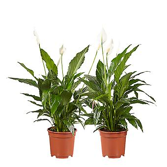 Choice of Green - Spathiphyllum Vivaldi - Spoon plant - Set of 2 pieces