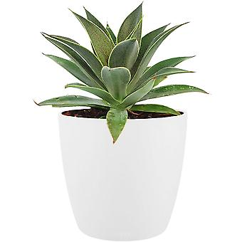 Mangave 'Lavender Lady' ® in ELHO Brussels Round (white) - Height 15 - Diameter pot 18