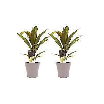 Zimmerpflanzen – 2 × Keulenlilie in taupe-farbenem Übertopf als Set – Höhe: 40 cm