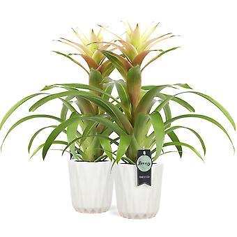 Bromelia Guzmania Deseo White in pot Dura 2 pieces - Height 45 cm - Diameter pot 13 cm
