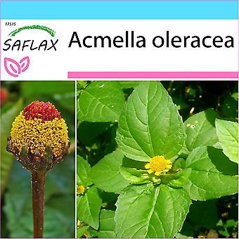 Saflax - regalo Set - 500 semi - Para Cress - Brède mascia - Crescione del Brasile - Hierba de los dientes / Paracress - Parakresse