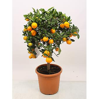 Pianta d'appartamento da Botanicly – Citrus Calamondin – Altezza: 80 cm