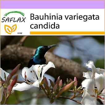 Saflax - 5 semi - White Orchid Tree - Arbre aux orchidées blanches - Albero di orchidea bianca - Árbol orquídea blanca - Weißer Orchideenbaum