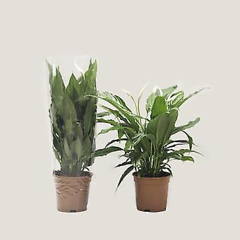 Lírio da Paz ↕ 65 a 66 cm   Spathiphyllum Chico