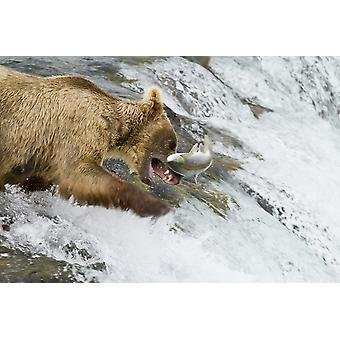 Brown bear (Ursus arctos) catching a jumping Sockeye salmon (Oncorhynchus nerka) at Brooks Falls Katmai National Park and Preserve Southwest Alaska PosterPrint