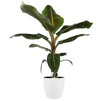 Bananen plant ↕ 80 cm verkrijgbaar met bloempot   Musa