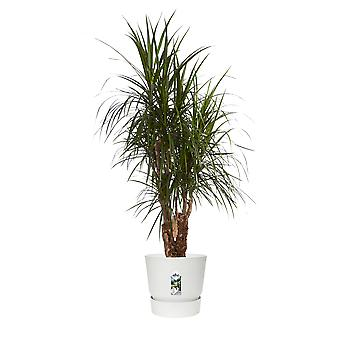Keuze van Groen - Dracaena marginata - Dragon Tree - in Elho® Greenville pot wit
