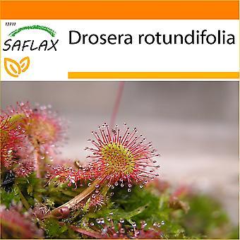 Saflax - Garten in der Tasche - 50 Samen - Runde Leaved Sonnentau - Droséra À Feuilles Rondes - Rosolida - Rocío de Sol de Hojas Redondeadas - Rundblättriger Sonnentau