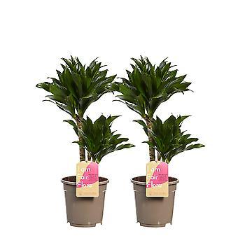 Kamerplanten van Botanicly – 2 × Drakenboom – Hoogte: 60 cm – Dracaena derem. Compacta