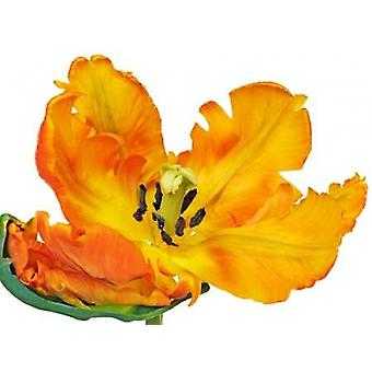 Parrot tulip close-up Poster Print by  Frank Krahmer