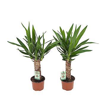 Yucca 12 cm quince spot 40 cm de altura