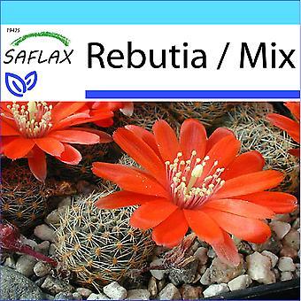 Saflax - Geschenk-Set - 40 Samen - Rebutia - Kaktus Nain Argentin - Rebutia - Rebutia - Argentinischer Zwergkaktus
