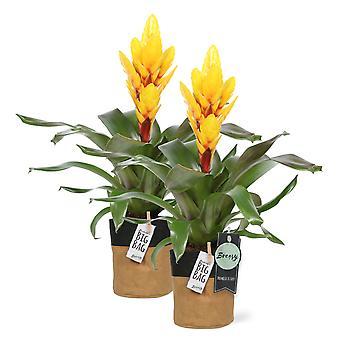 """Bromelia Vriesea Intenso Yellow 2 pieces + pot """"BigBag"""" - Height 42 cm - Diameter pot 13 cm"""