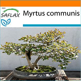 Saflax - giardino nel sacchetto - 30 Semi - Bonsai - Mirto - Myrte commun - Mirto - Mirto - B - Echte Myrte / Brautmyrte