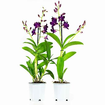 Choice of Green - Set of 2 Dendrobium Sa Purple Happiness in other words Orchidee