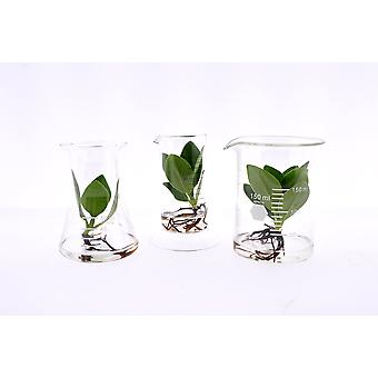 Indoor trees from Botanicly – 3 × Autograph tree in Laboratory glass – Height: 12 cm – Clusia