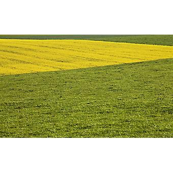 Yellow Rapeseed Growing Amongst Green Pasture PosterPrint