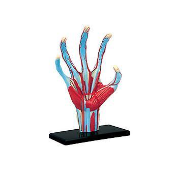 4D menneskelig anatomi hånd modell