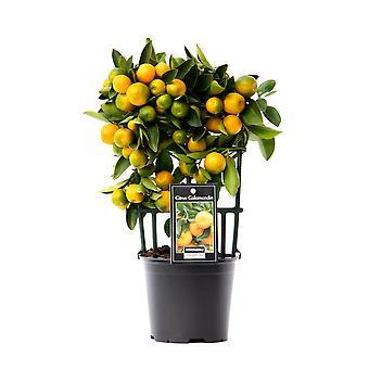 Kasvitieteellisesti hedelmäkasvi – Citrus Calamondin – Korkeus: 30 cm