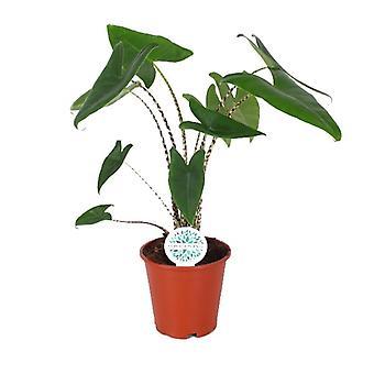 Indendørs plante fra Botanicly – Elefantøre – Højde: 80 cm – Alocasia Zebrina