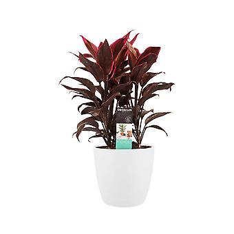 Kordulê ↕ 60 cm disponible avec jardinière | Cordyline Fruticosa Mambo