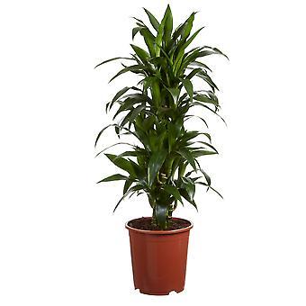 Zimmerpflanze von Botanicly – Drachenbaum – Höhe: 65 cm – Dracaena fragr. Janet Craig
