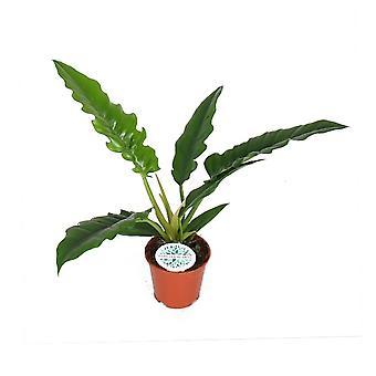 Zimmerpflanze von Botanicly – Philodendron stenolobum Narrow Escape – Höhe: 50 cm
