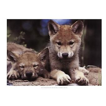 Spring Wolf Pups Poster Print by Art Kane (19 x 13)