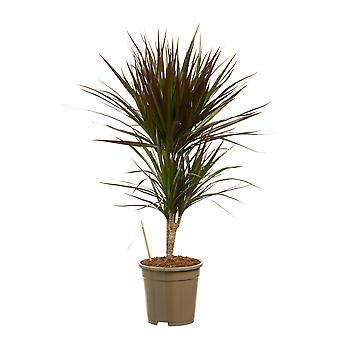 Indoor tree from Botanicly – Dragon tree – Height: 80 cm, 2 stems – Dracaena Marginata