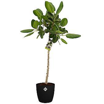 Rubberboom ↕ 70 tot 110 cm verkrijgbaar met bloempot | Ficus Elastica Burgundy Bushy