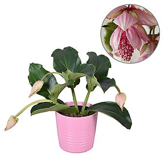 MoreLIPS® - Medinilla Pinatubo 3 Blumen in rosa Keramik - Höhe 45-55 cm - Topfgröße: 19 cm - Ihr grünes Geschenk