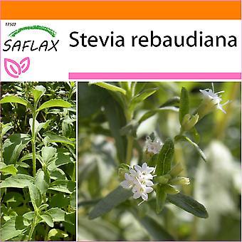 Saflax - jardin dans le sac - 100 graines - Sweet Leaf du Paraguay - Chanvre d'eau - Stevia - Hierba dulce - Stevia Süßkraut