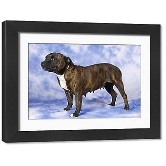 Staffordshire Bull Terrier Pies. Duże zdjęcie w ramce. JD-8969 <br>Staffordshire Bull Terrier Pies.