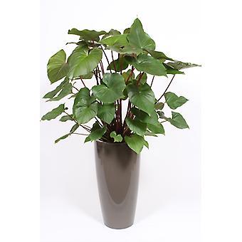 Roślina wewnętrzna z Botaniki – Homalomena rubescens Maggy w doniczce taupe w zestawie – Wysokość: 140 cm