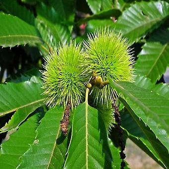 Castanea sativa (tamme kastanje)-plant