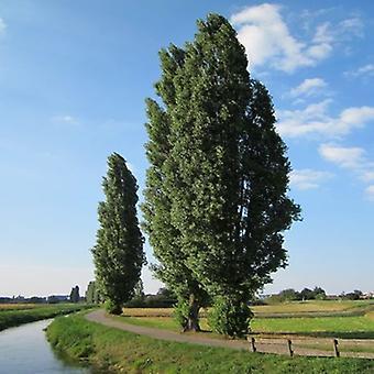 Populus nigra (Black Poplar) - Plant